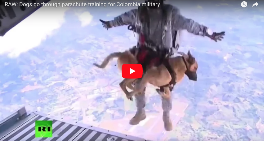 [VIDEO] Dogs go through parachute training for Colombia military
